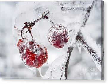 Icy Branch With Crab Apples Canvas Print by Elena Elisseeva