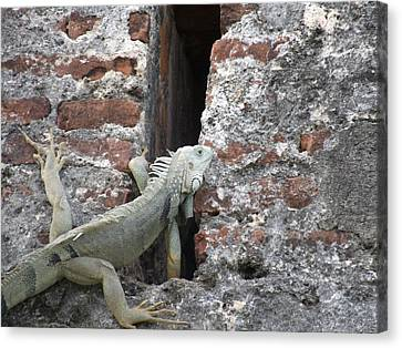 Canvas Print featuring the photograph Iguana by David S Reynolds