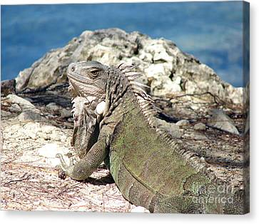 Iguana In The Sun Canvas Print