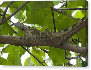 Iguana In Tree Canvas Print by Dan Friend