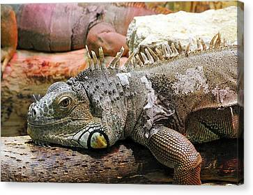 Iguana On A Branch Canvas Print by Heiti Paves