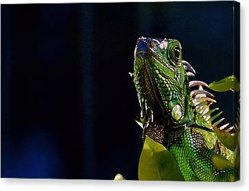Canvas Print featuring the photograph Iguana On Black by Pamela Blizzard