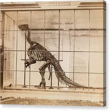Iguanodon Skeleton Mesozoic Dinosaur Canvas Print by Science Source