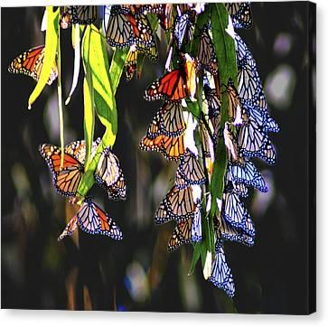 Illuminated Beauties Canvas Print