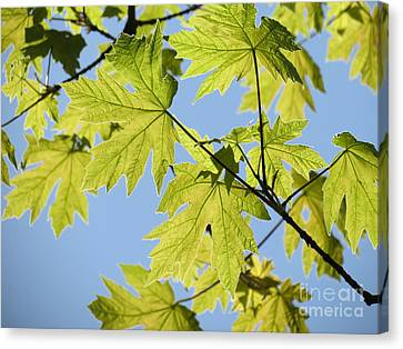 Canvas Print featuring the photograph Illuminated Leaves by Gayle Swigart
