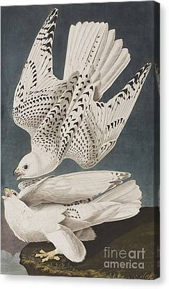 Illustration From Birds Of America Canvas Print by John James Audubon