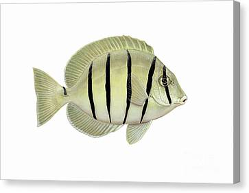 Illustration Of A Convict Tang Fish Canvas Print by Carlyn Iverson