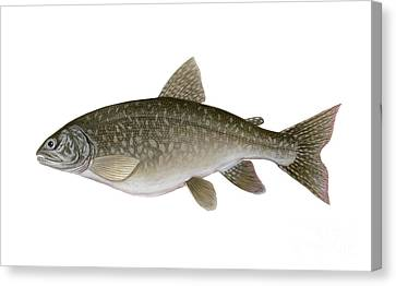 Illustration Of A Lake Trout Salvelinus Canvas Print by Carlyn Iverson