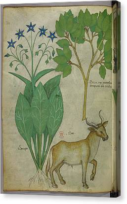 Illustration Of Plants And A Bull Canvas Print by British Library