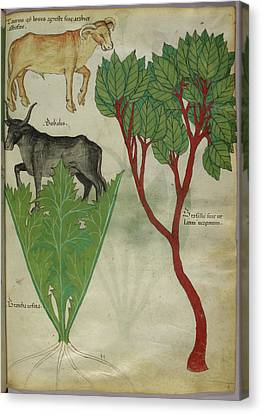 Illustration Of Plants And Bulls Canvas Print by British Library