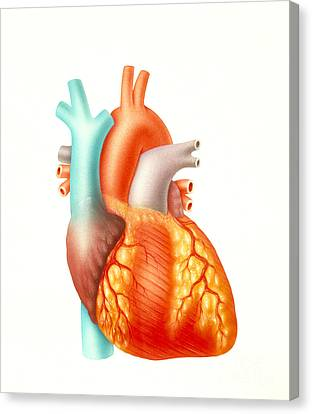 Illustration Of The Human Heart Canvas Print by Carlyn Iverson