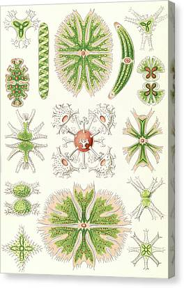 Illustration Shows Algae. Desmidiea. - Bierdinge Canvas Print