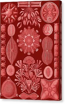 Illustration Shows Algae. Diatomea. - Schachtellinge Canvas Print