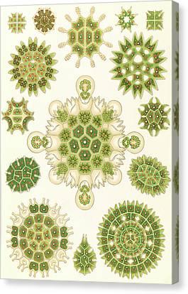 Illustration Shows Algae In The Genus Pediastrum Canvas Print