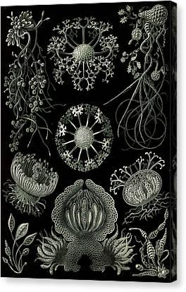 Illustration Shows Fungi. Ascomycetes. - Schlauchpilze Canvas Print