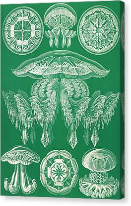 Illustration Shows Jellyfish. Discomedusae Canvas Print