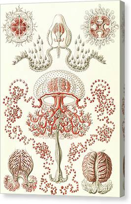 Illustration Shows Jellyfishes. Anthomedusae Canvas Print