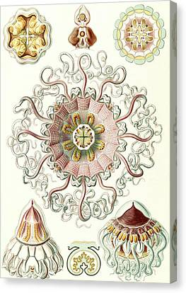Illustration Shows Jellyfishes In The Phyllum Cnidaria Canvas Print