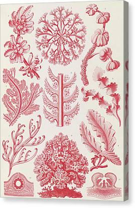 Illustration Shows Red Algae. Florideae. - Rotalgen Canvas Print