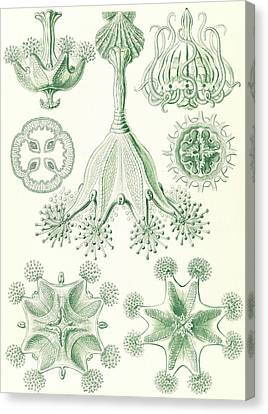 Illustration Shows Stalked Jellyfishes. Stauromedusae Canvas Print