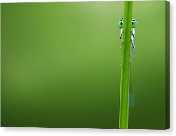 Damselfly Canvas Print - I'm Hiding by Roeselien Raimond