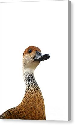 I'm Not Quacking Canvas Print by Darla Wood
