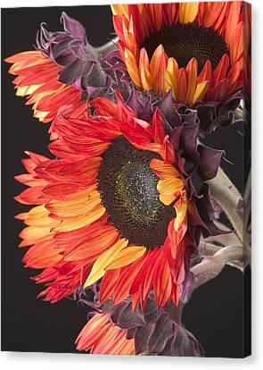 Imagination - Sunflower 01 Canvas Print