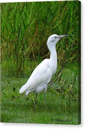 Immature Little Blue Heron Canvas Print by Dan Williams
