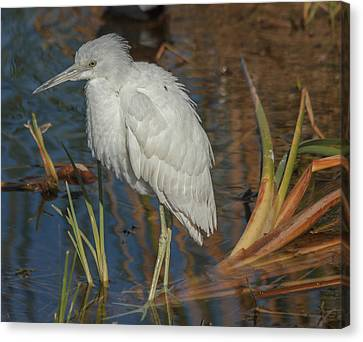 Immature Little Blue Heron Canvas Print by Jane Luxton