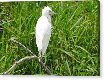 Immature Little Blue Heron On Watch Canvas Print by Dan Williams
