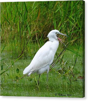 Immature Little Blue Heron Yawning Canvas Print by Dan Williams