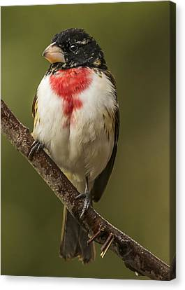Immature Male Rose-breasted Canvas Print