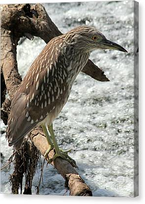 Canvas Print featuring the photograph Immature Night Heron by Kenny Glotfelty