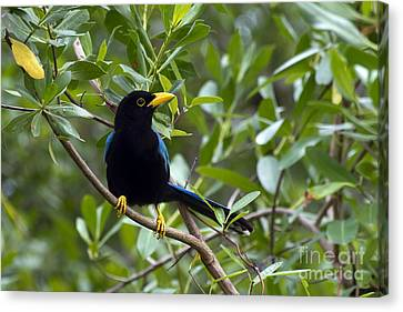 Canvas Print featuring the photograph Immature Yucatan Jay by Teresa Zieba