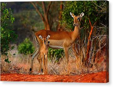 Impala And Young Canvas Print