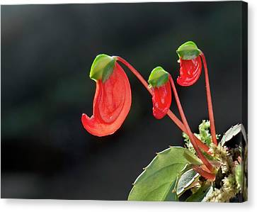 Impatiens Parasitica Flowers Canvas Print by K Jayaram