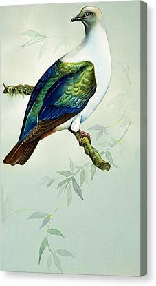 Imperial Fruit Pigeon Canvas Print by Bert Illoss