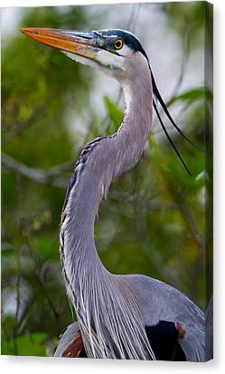 Imperial Great Blue Heron Canvas Print by Andres Leon