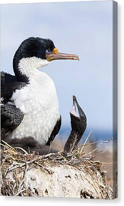 Imperial Shag Also Called King Shag Canvas Print by Martin Zwick