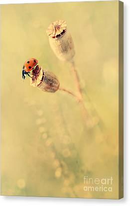 Impression With Dry Poppies Canvas Print by Jaroslaw Blaminsky