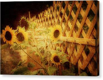 Sunflowers And Lattice Canvas Print by Toni Hopper