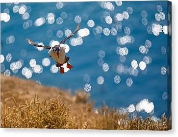 In Flight Puffin Over Sparkly Water Canvas Print by Izzy Standbridge