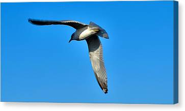 In Flight Canvas Print by Thomas  MacPherson Jr