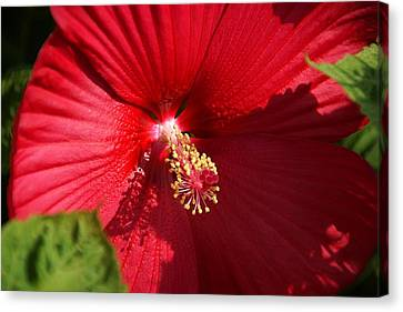 In Full Bloom Canvas Print by Thomas Fouch