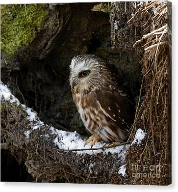 In Hiding Saw Whet Owl In A Hollow Stump Is Part Of The Birds Of Prey Fine Art Raptor Wildlife Photo Canvas Print by Inspired Nature Photography Fine Art Photography