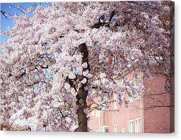 In Its Glory. Pink Spring In Amsterdam Canvas Print by Jenny Rainbow