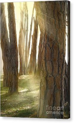 In Pine Forest Canvas Print by Mythja  Photography
