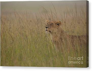 In Search Of Cubs Canvas Print by Ashley Vincent