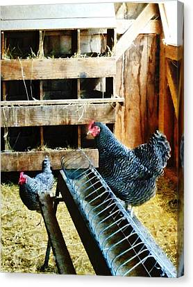 In The Chicken Coop Canvas Print by Susan Savad