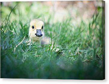 In The Grass Canvas Print by Priya Ghose
